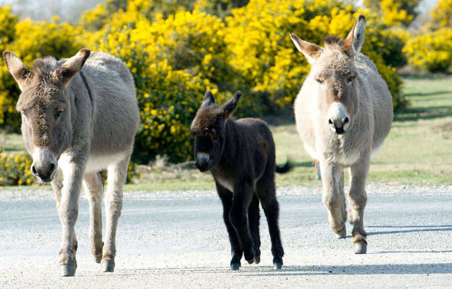 New Forest Donkeys on the Move